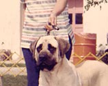 Banyon Mastiffs